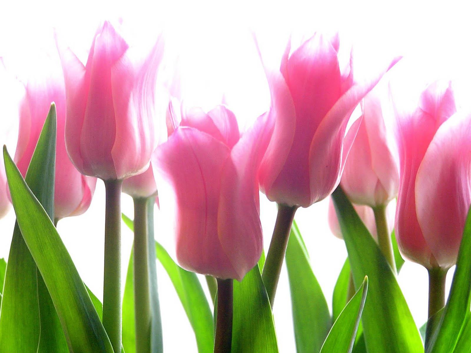 Pink Tulip Flower-03